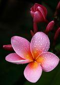 Pink Frangipani And Bud
