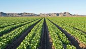 Arizona lettuce field