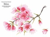 Watercolor Cherry Blossom In Asian One-stroke Painting Style. White Background, Path Included poster