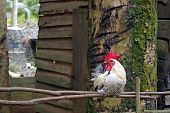 Rooster Sitting Quietly On Old Wooden Fence