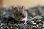 Closeup Young Wild Mouse Sits On Pile Of Sunflower Seeds In Warehouse And Looking Away. Concept Of F poster