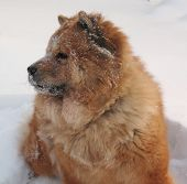 Red Dog Chow-Chow In The Snow poster