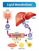 Lipid Metabolism Vector Illustration Infographic. Labeled Medical Cycle Scheme With Small Intestine, poster