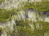 Beach Grass And Crowberry In The Dunes Of The Island Of Sylt, Germany