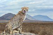 Wild African Cheetah, Beautiful Mammal Animal. Africa, Kenya poster