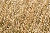 Dry Switch Grass Background