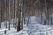 Foot Path In Winter Birch Forest