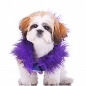 picture of pimp  - sweet looking shih tzu puppy dressed like a pimp standing on white background - JPG