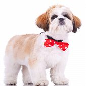 Shih Tzu Puppy, Wearing A Red Neck Bow