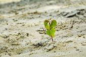 Young Tree Growing On Sand. Sprout Of A Tree Punching Through Sand. Young Tree Growing On Sand In Na poster