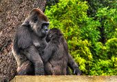 An HDR image of a mother and baby gorilla looking tenderly into eack others eyes