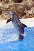 stock photo of grampus  - A bottlenose dolphin performing a tail stand at a show - JPG