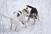 Mixed Breed White And Black Dogs Playing With Rope In Snow poster