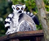 A Ring Tailed Lemur, Lemur Catta sitting on a perch