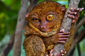 Big-Eyed Tarsier Winking with one Eye