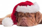 Lying Dogue de bordeaux with red Santa hat