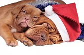 stock photo of christmas dog  - Puppy lying on its mom - JPG