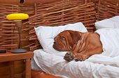 pic of bordeaux  - Dogue De Bordeaux Comfortably Sleeping in bed with white sheets - JPG