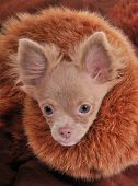 Chihuahua puppy dressed with chic fur collar