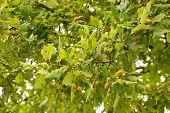 Green Oak Branch With Acorns.close-up Of The Lush Foliage Of An Oak Tree Ripe Fruit Tree poster