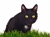 Black green-eyed cat behind grass isolated on white background