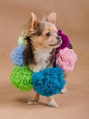 Chihuahua puppy wearing colorful scarf with pompons isolated