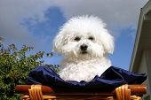 Fifi the Bichon Frise sits in a wooden basket covered with dark blue silk material with a blue sky a