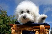 Fifi the Bichon Frise sits and waves at you the viewer while in a wooden basket covered with dark bl