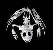Skeleton Of A Frog.