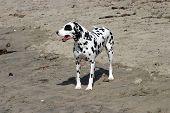 Gefleckte Hund am Hundestrand