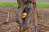 Fruiting bodies of the sulfur fungus, Laetiporus sulphureus growing on a eucalyptus tree