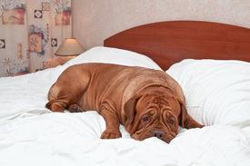 stock photo of goodnight  - Big Goodnight Dog on Bed - JPG