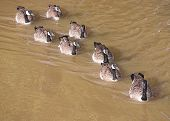 Waterfowl - Canada Geese