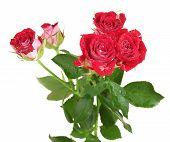 Beautiful vinous roses on white background close-up