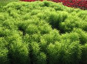 foto of pubescent  - Kochia a family of Amaranth on a bed - JPG