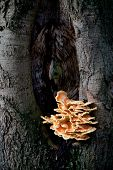 sulfur fungus on beech tree