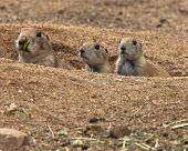 Three Cute Prairie Dogs Peeking Out Of Burrow