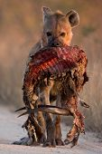 Spotted Hyena With Bushbuck