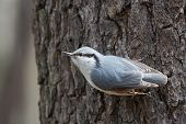 image of gullible  - Nuthatch on a Tree Trunk Begging for Food Udelny Park St - JPG