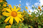 Sunflower Garden In North Of