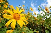 Sunflower Garden In North Of