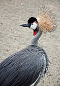 African Crowned Crane Bird