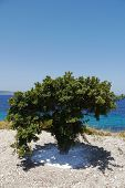 blue sea and mastic tree