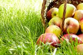 stock photo of fall day  - Healthy Organic Apples in the Basket - JPG