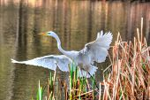 Great Egret Taking Off In Hdr