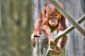 Baby Orangutan In Hdr