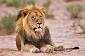 Male Lion Lay In Kgalagadi