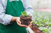 Garden center worker holding plant out of its pot in greenhouse of garden center