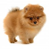 stock photo of puppy eyes  - pomeranian puppy the age of 1 - JPG