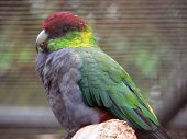 image of king parrot  - red capped parrot - JPG